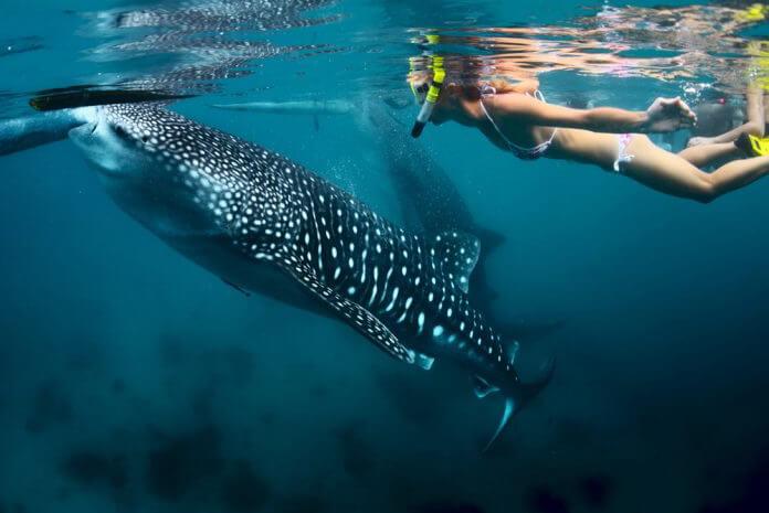 Tiburon Ballena Filipinas
